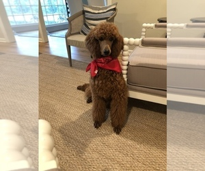 Poodle (Standard) Puppy for Sale in MEM, Tennessee USA