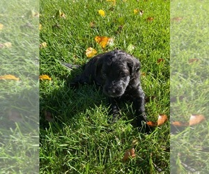 Goldendoodle-Unknown Mix Puppy for sale in GARDEN CITY, MI, USA