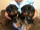 Rottweiler Puppy For Sale in BAKERSFIELD, California,