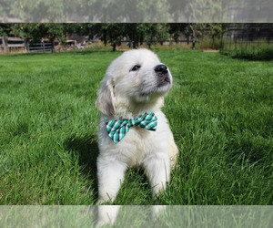 English Cream Golden Retriever Puppy for Sale in NAMPA, Idaho USA