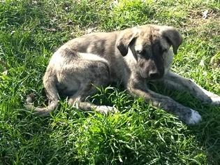 View Ad: Anatolian Shepherd Puppy for Sale near Texas, BOYD