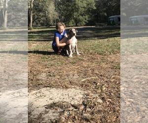 Great Dane Puppy for Sale in MORRISTON, Florida USA