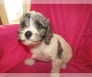 Cavapoo Puppy for sale in BATTLE CREEK, MI, USA