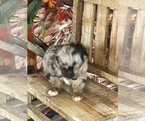 Miniature Australian Shepherd Puppy for Sale in EVANS, Colorado USA