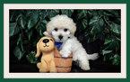 Maltese Puppy For Sale in SAN JOSE, CA, USA