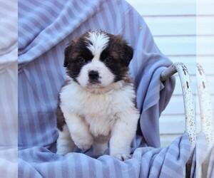 Saint Bernard Puppy for sale in MARIETTA, PA, USA