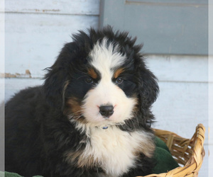 Bernese Mountain Dog Puppy for sale in ELIZABETHTOWN, PA, USA