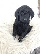 Goldendoodle-Poodle (Standard) Mix Puppy For Sale in FLOYD, IA, USA