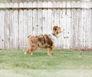 Father of the Australian Shepherd puppies born on 07/08/2019