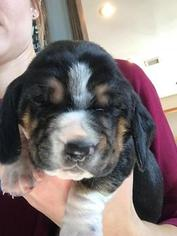 Basset Hound Puppy For Sale in LOWRY CITY, MO, USA
