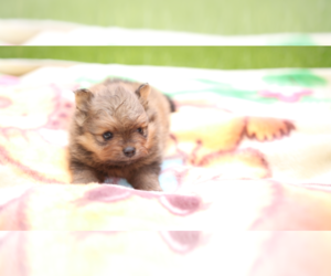 Pomeranian Puppy for Sale in EVERETT, Washington USA