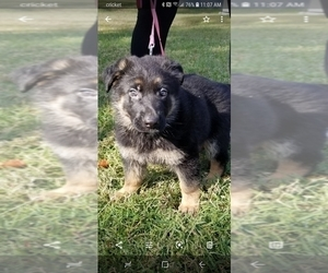 German Shepherd Dog Puppy for Sale in MELBOURNE, Florida USA