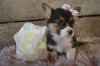 Pembroke Welsh Corgi Puppy For Sale near 19344, Honey Brook, PA, USA