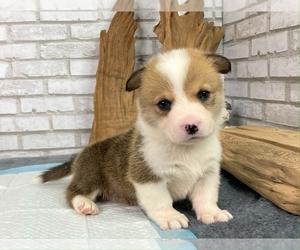 Pembroke Welsh Corgi Puppy for sale in WASHINGTON, DC, USA