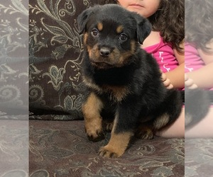 Rottweiler Puppy for Sale in SPG VALLEY LK, California USA