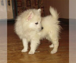 American Eskimo Dog Dog for Adoption in CAMPBELL, Minnesota USA