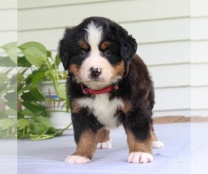 Bernese Mountain Dog Puppy for sale in EAST EARL, PA, USA