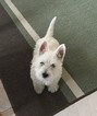 West Highland White Terrier Puppy For Sale in BOIS D ARC, MO