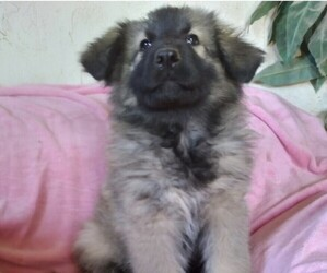 King Shepherd Puppy for sale in YUCCA VALLEY, CA, USA