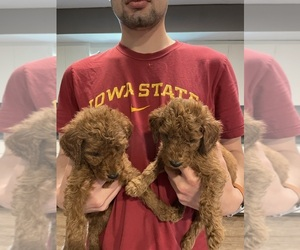 Poodle (Standard) Puppy for sale in BRUSHY, IA, USA