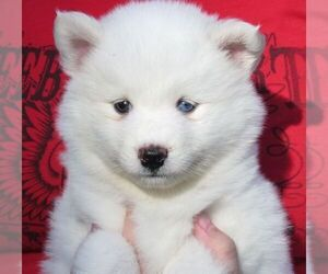 Pomsky Puppies for Sale in Florida, USA, Page 1 (10 per page