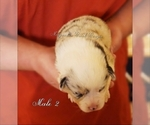 Image preview for Ad Listing. Nickname: Merle Male 2