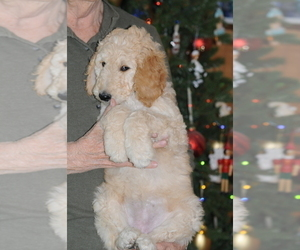Goldendoodle Puppy for Sale in DALLAS, Texas USA