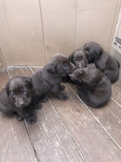 Labrador Retriever Puppy for sale in BRENTWOOD, NC, USA