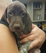 German Shorthaired Pointer Puppy For Sale in SCOTTSDALE, AZ, USA