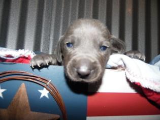 Weimaraner Puppy For Sale in DEFUNIAK SPRINGS, FL