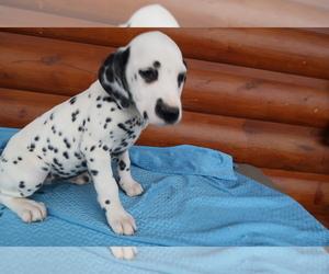 Dalmatian Puppy for sale in KALAMAZOO, MI, USA
