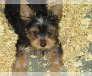 Yorkshire Terrier Puppy for Sale in CARROLLTON, Georgia USA