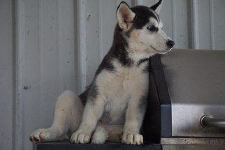 Siberian Husky Puppy for sale in FREDERICKSBURG, OH, USA