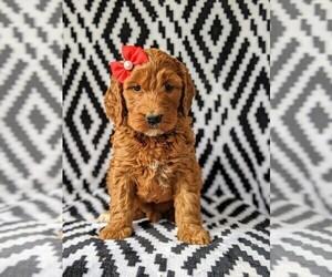 Irish Doodle Puppy for sale in BAINBRIDGE, MD, USA
