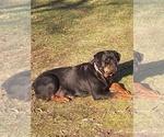Small #12 Rottweiler