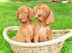 Vizsla Puppy For Sale in DUDLEY, MA