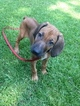 Rhodesian Ridgeback Puppy For Sale in WILMINGTON, NC