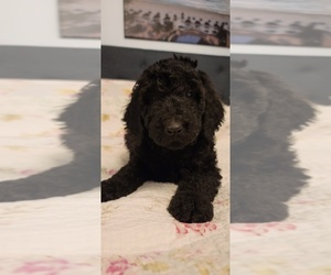 Poodle (Standard) Puppy for sale in HOFFMAN EST, IL, USA