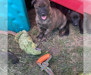 Dutch Shepherd Dog Puppy for Sale in CLARKSTON, Michigan USA