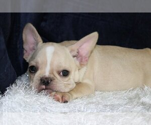French Bulldog Dog for Adoption in FORT LAUDERDALE, Florida USA