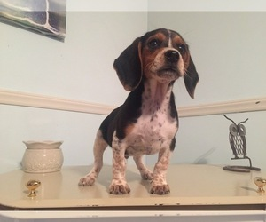 Beagle Puppy for sale in PAX, WV, USA