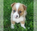 Puppy 6 Pembroke Welsh Corgi