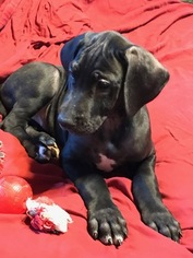 Great Dane Puppy For Sale in SCOTTSDALE, AZ, USA