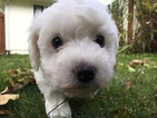 Bichon Frise Puppy For Sale in NORTH BEND, WA, USA