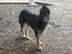 German Shepherd Dog Puppy For Sale in SPRINGFIELD, OR, USA