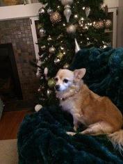 Chiwi - Chihuahua Dog For Adoption