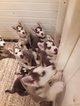 Siberian Husky Puppy For Sale in MAXWELL, New Mexico,