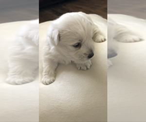 West Highland White Terrier Puppy for sale in CROSBY, TX, USA