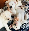 Dogo Argentino Puppy For Sale in COTOPAXI, CO, USA