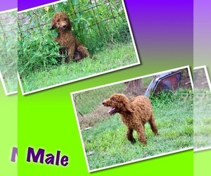 Poodle (Standard) Puppy for Sale in GARWOOD, Texas USA